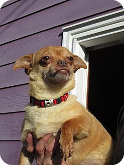 Chihuahua/Pug Mix Dog for adoption in Bellingham, Washington - Speedy