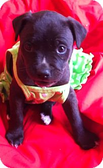 Labrador Retriever/Staffordshire Bull Terrier Mix Puppy for adoption in San Diego, California - DAISY (HW)