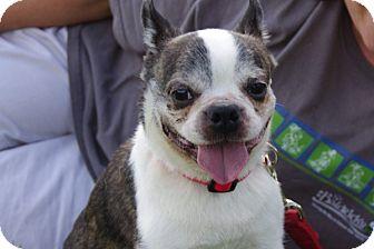 Boston Terrier/French Bulldog Mix Dog for adoption in Elyria, Ohio ...