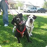 Adopt A Pet :: Jill - Santa Monica, CA