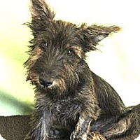 Adopt A Pet :: *Toto - PENDING - Westport, CT