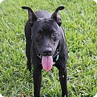 Adopt A Pet :: Taz - Miami, FL