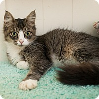 Adopt A Pet :: Clawdia - Shelton, WA