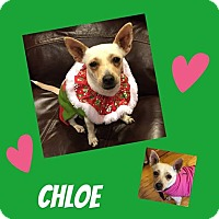 Adopt A Pet :: Chloe - bridgeport, CT
