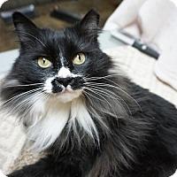 Adopt A Pet :: Sylvester - Alameda, CA