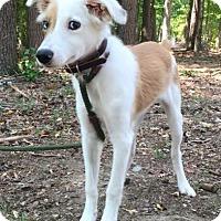 Adopt A Pet :: Luna - Brattleboro, VT