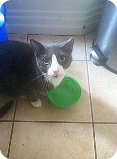 Domestic Shorthair Cat for adoption in New Bedford, Massachusetts - Frankie