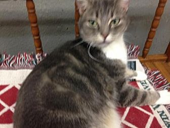 Domestic Shorthair Cat for adoption in Fresno, California - Trevor
