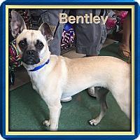 Adopt A Pet :: Bentley-Courtesy Alexia - Homestead, FL