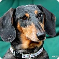Adopt A Pet :: Bo, 7 yrs dapple, $200 fee - Spokane, WA