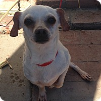 Dachshund/Rat Terrier Mix Dog for adoption in Santa Ana, California - Zippy