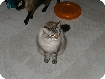 Siamese Cat for adoption in Sparta, Wisconsin - Chai