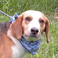 Beagle Dog for adoption in Princeton, Kentucky - Merle