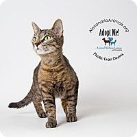 Adopt A Pet :: Chi Chi - Alexandria, VA