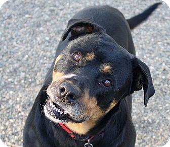 Rottweiler Mix Dog for adoption in Sacramento, California - Lucy!