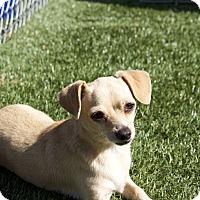Adopt A Pet :: Cece - Chula Vista, CA