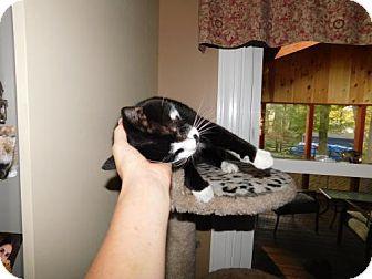 Domestic Shorthair Cat for adoption in Warminster, Pennsylvania - Fiona