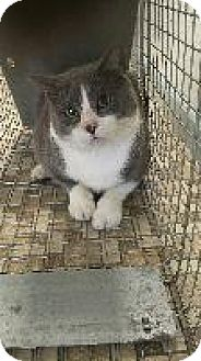 Domestic Shorthair Cat for adoption in Queenstown, Maryland - Cameron