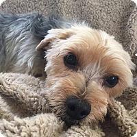 Adopt A Pet :: Mac - West Linn, OR