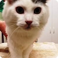 Domestic Longhair Cat for adoption in Kalamazoo, Michigan - Antonio