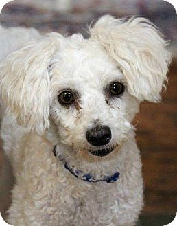 Poodle (Miniature) Dog for adoption in Boulder, Colorado - Bentley-ADOPTION PENDING