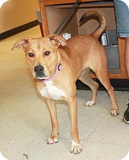 Labrador Retriever Mix Dog for adoption in Cottageville, West Virginia - Sephra