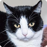 Adopt A Pet :: Catsy Cline - Prescott, AZ