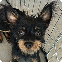 Norwich Terrier/Chihuahua Mix Dog for adoption in La Quinta, California - Fergus