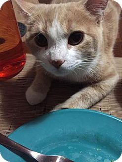 Domestic Shorthair Cat for adoption in Akron, Ohio - Bowen