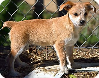 Silky Terrier Mix Puppy for adoption in Simi Valley, California - Dusty