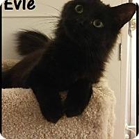 Adopt A Pet :: Evie - Covington, KY