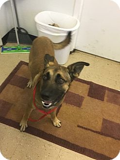 Belgian Malinois Mix Dog for adoption in Hopewell, Virginia - Mali