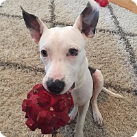 Adopt A Pet :: Amelia - Tallahassee, FL