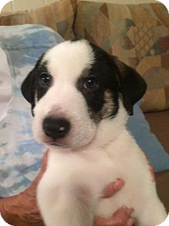 Hound (Unknown Type)/Labrador Retriever Mix Puppy for adoption in Sanford, Florida - Bernie