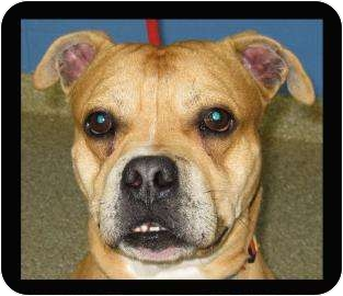 pug and pitbull mix toro adopted dog 12920234 munster in pug american 1420
