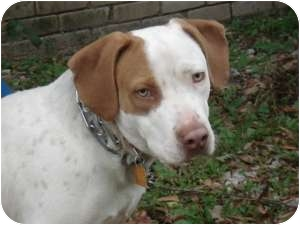 Hound (Unknown Type)/Terrier (Unknown Type, Medium) Mix Dog for adoption in Kingwood, Texas - Jasper