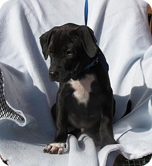 Labrador Retriever Mix Puppy for adoption in Oakland, Arkansas - Boss