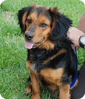 Dachshund/Beagle Mix Dog for adoption in Albany, New York - PeeWee