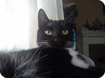 Domestic Shorthair Cat for adoption in Cerritos, California - Mittens