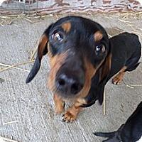Adopt A Pet :: Roper - Chewelah, WA