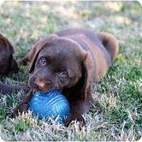Adopt A Pet :: Angel-Puppy Choco Female - Altmonte Springs, FL