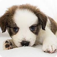 Adopt A Pet :: Zirc - Cumberland, MD