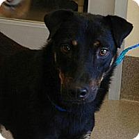 Adopt A Pet :: Katy - Gig Harbor, WA
