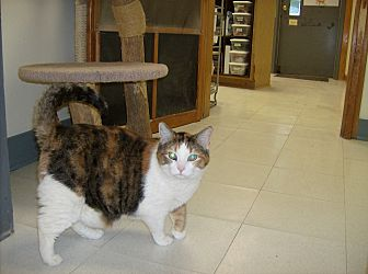 Domestic Shorthair Cat for adoption in Milwaukee, Wisconsin - Cassie
