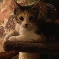 Calico Cat for adoption in Beaumont, Texas - Gracie