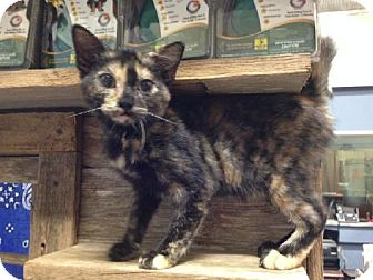 Domestic Shorthair Kitten for adoption in Del Rio, Texas - Angel