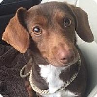 Adopt A Pet :: Leia Organa - Houston, TX