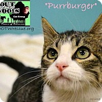 Adopt A Pet :: Mr. Purrburger in CT - Manchester, CT