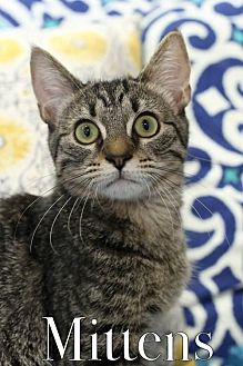 Domestic Shorthair Cat for adoption in knoxville, Tennessee - Mittens Female