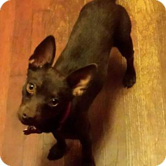 Chihuahua/Terrier (Unknown Type, Small) Mix Dog for adoption in LAKEWOOD, California - Buffy